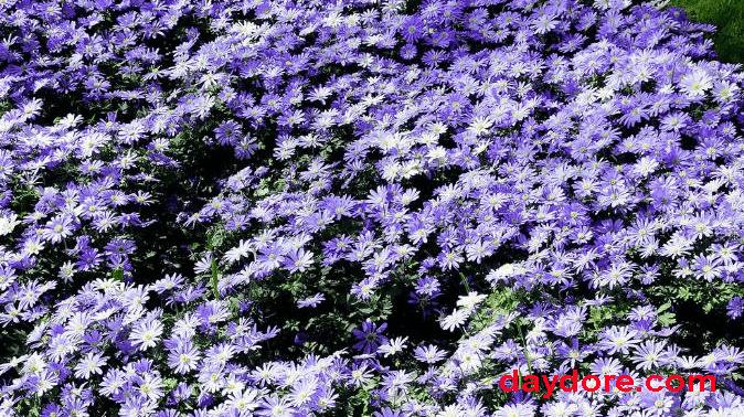 Loài hoa Thạch Thảo